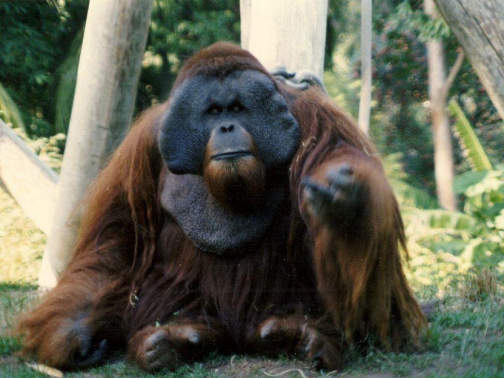 El orangután Kenny
