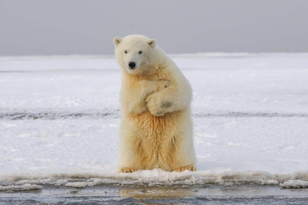 Oso polar: Situaciones para dejar de ser veganos...