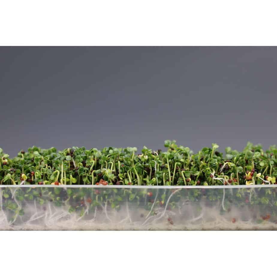 germinados y brotes caseros con el germinador easygreen u otros germinadores seleccionados